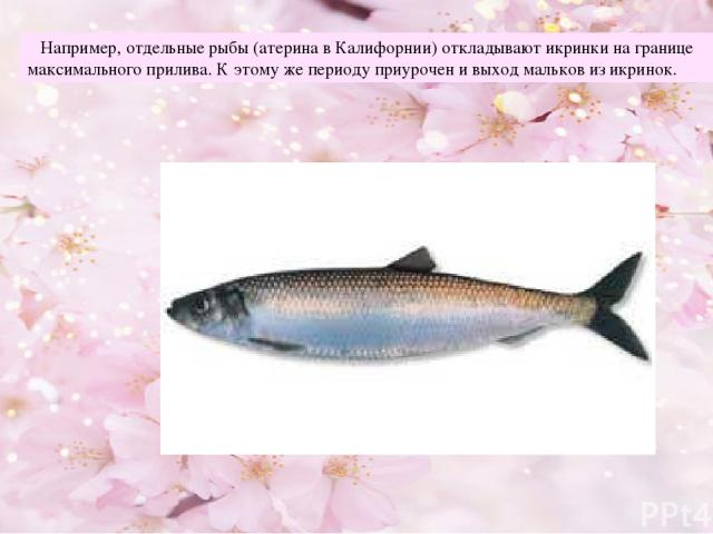 Например, отдельные рыбы (атерина в Калифорнии) откладывают икринки на границе максимального прилива. К этому же периоду приурочен и выход мальков из икринок.