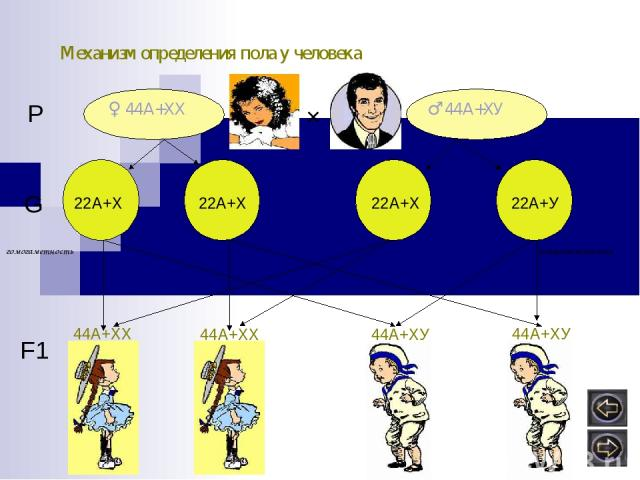 Механизм определения пола у человека ♀ 44А+ХХ ♂ 44А+ХУ × Р G 22А+Х 22А+Х 22А+У 22А+Х F1 44А+ХХ 44А+ХХ 44А+ХУ 44А+ХУ ? ? гомогаметность гетерогаметность