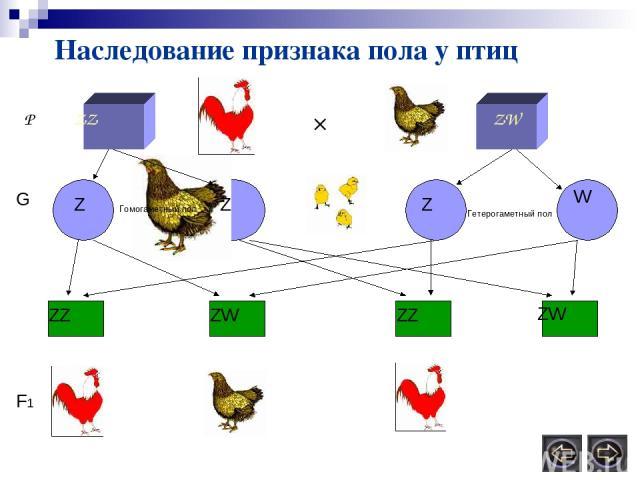 Наследование признака пола у птиц Р ZZ ZW × Z Z Z W G ZZ ZW ZZ ZW F1 Гомогаметный пол Гетерогаметный пол