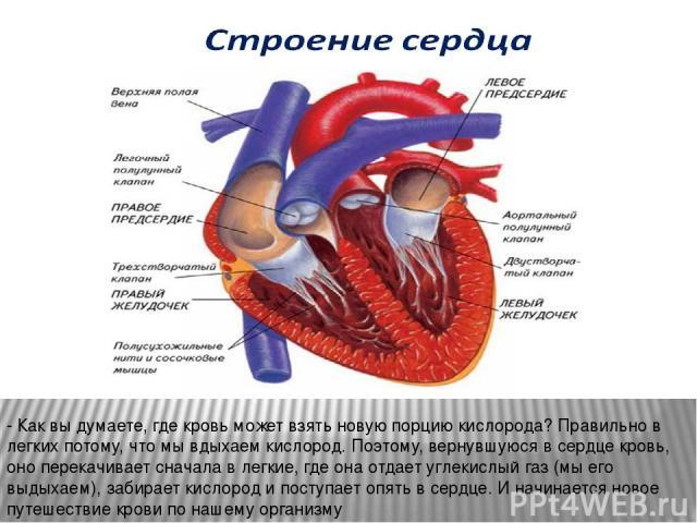 - Как вы думаете, где кровь может взять новую порцию кислорода? Правильно в легких потому, что мы вдыхаем кислород. Поэтому, вернувшуюся в сердце кровь, оно перекачивает сначала в легкие, где она отдает углекислый газ (мы его выдыхаем), забирает кис…