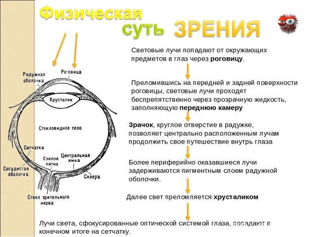 Световые лучи попадают от окружающих предметов в глаз через роговицу. Преломившись на передней и задней поверхности роговицы, световые лучи проходят беспрепятственно через прозрачную жидкость, заполняющую переднюю камеру Зрачок, круглое отверстие в …