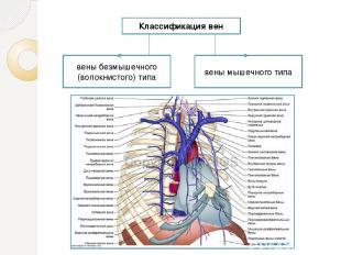 Классификация вен вены безмышечного (волокнистого) типа вены мышечного типа