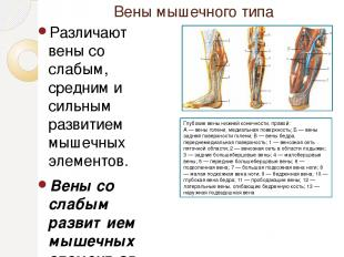 Вены мышечного типа Различают вены со слабым, средним и сильным развитием мышечн