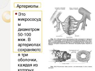Артериолы Это микрососуды диаметром 50-100 мкм. В артериолах сохраняются три обо