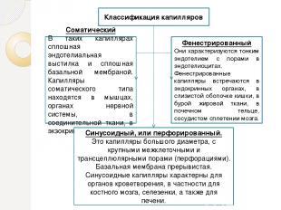 Классификация капилляров Соматический В таких капиллярах сплошная эндотелиальная