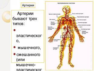 Артерии Артерии бывают трех типов: эластического, мышечного, смешанного (или мыш