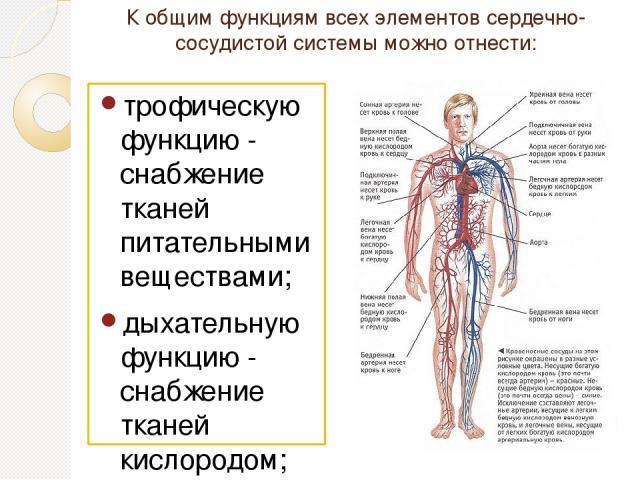К общим функциям всех элементов сердечно-сосудистой системы можно отнести: трофическую функцию - снабжение тканей питательными веществами; дыхательную функцию - снабжение тканей кислородом; экскреторную функцию - удаление продуктов обмена из тканей;…