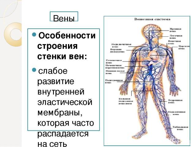 Вены Особенности строения стенки вен: слабое развитие внутренней эластической мембраны, которая часто распадается на сеть волокон; слабое развитие циркулярного мышечного слоя; более частое продольное расположение гладких миоцитов; меньшая толщина ст…