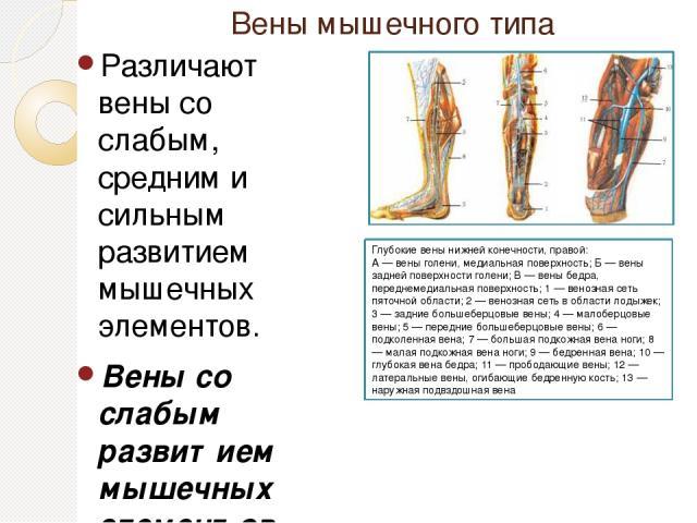 Вены мышечного типа Различают вены со слабым, средним и сильным развитием мышечных элементов. Вены со слабым развитием мышечных элементов - это мелкие и средние вены верхней части тела, по которым кровь движется пассивно, под действием силы тяжести.…