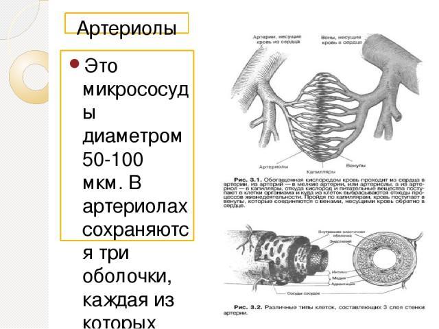 Артериолы Это микрососуды диаметром 50-100 мкм. В артериолах сохраняются три оболочки, каждая из которых состоит из одного слоя клеток. Внутренняя оболочка артериол состоит из эндотелиальных клеток с базальной мембраной, тонкого подэндотелиального с…