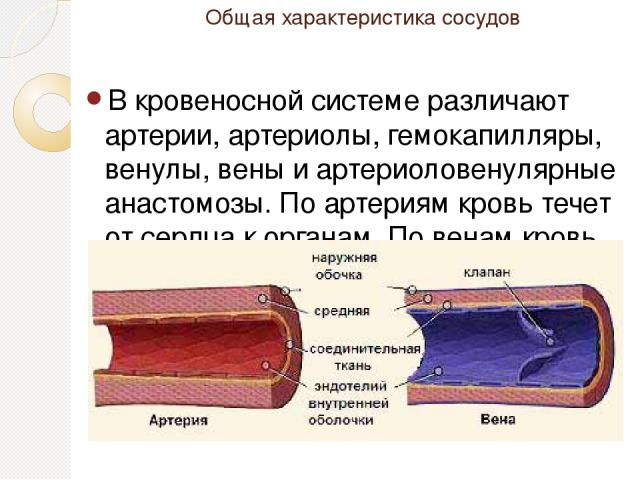 Общая характеристика сосудов В кровеносной системе различают артерии, артериолы, гемокапилляры, венулы, вены и артериоловенулярные анастомозы. По артериям кровь течет от сердца к органам. По венам кровь притекает к сердцу. Взаимосвязь между артериям…