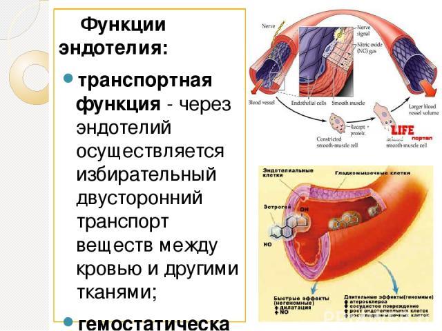 Функции эндотелия: транспортная функция- через эндотелий осуществляется избирательный двусторонний транспорт веществ между кровью и другими тканями; гемостатическая функция- эндотелий играет ключевую роль в свертывании крови. В норме неповрежденны…
