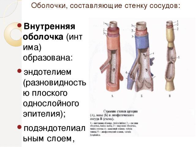 Оболочки, составляющие стенку сосудов: Внутренняя оболочка(интима) образована: эндотелием (разновидностью плоского однослойного эпителия); подэндотелиальным слоем, состоящим из рыхлойсоединительной ткани; внутренней эластической мембраной. Средняя…