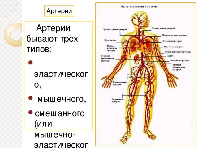 Артерии Артерии бывают трех типов: эластического, мышечного, смешанного (или мышечно-эластического). Классификация основывается на соотношении количества мышечных клеток и эластических волокон в средней оболочке артерий.