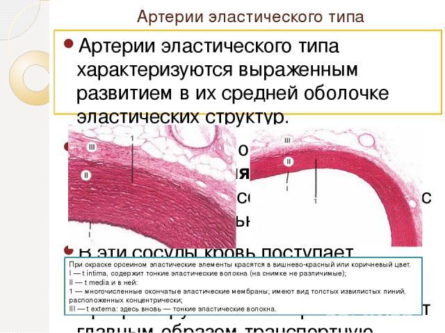 Артерии эластического типа Артерии эластического типа характеризуются выраженным развитием в их средней оболочке эластических структур. К этим артериям относятсяаортаи легочная артерия, в которых кровь протекает под высоким давлением и с большой с…