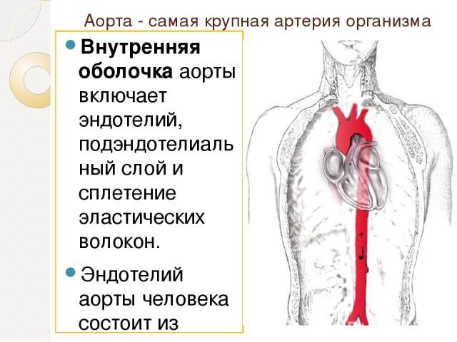 Аорта - самая крупная артерия организма Внутренняя оболочкааорты включает эндотелий, подэндотелиальный слой и сплетение эластических волокон. Эндотелий аорты человека состоит из плоских эндотелиоцитов, расположенных на базальной мембране. Подэндоте…