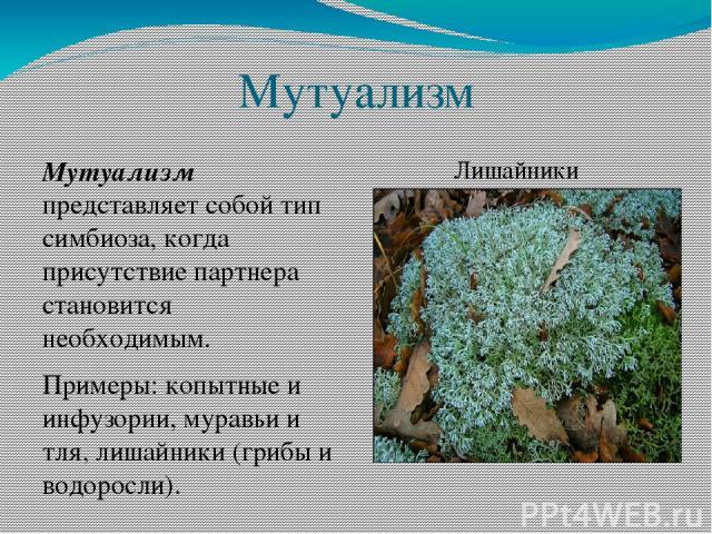 Мутуализм Мутуализм представляет собой тип симбиоза, когда присутствие партнера становится необходимым. Примеры: копытные и инфузории, муравьи и тля, лишайники (грибы и водоросли). Лишайники