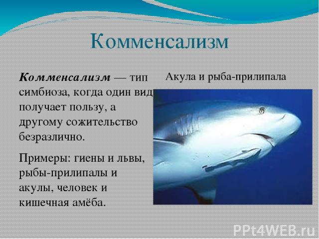 Комменсализм Комменсализм — тип симбиоза, когда один вид получает пользу, а другому сожительство безразлично. Примеры: гиены и львы, рыбы-прилипалы и акулы, человек и кишечная амёба. Акула и рыба-прилипала