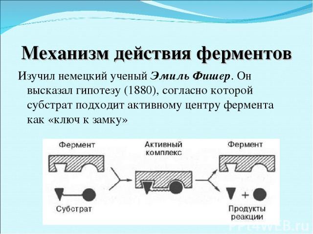 Механизм действия ферментов Изучил немецкий ученый Эмиль Фишер. Он высказал гипотезу (1880), согласно которой субстрат подходит активному центру фермента как «ключ к замку»