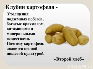 Клубни картофеля - Утолщения подземных побегов, богатые крахмалом, витаминами и
