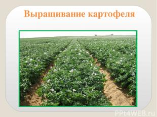 9. Расскажите о выращивании картофеля. Картофель сажают весной. Клубни закапываю