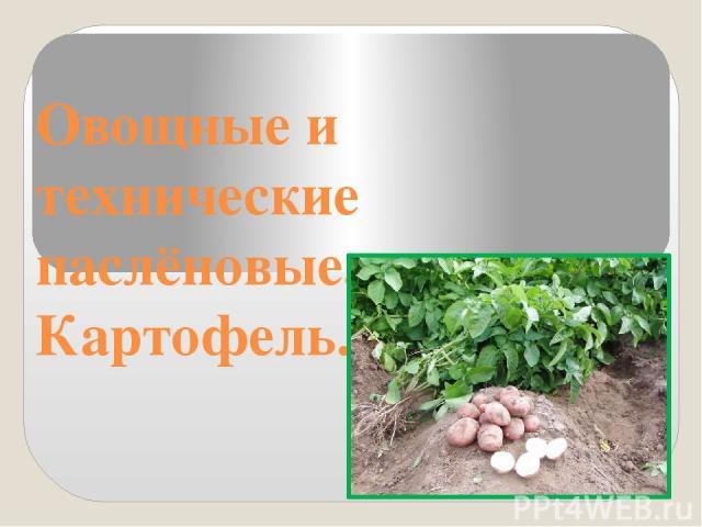 Овощные и технические паслёновые. Картофель.
