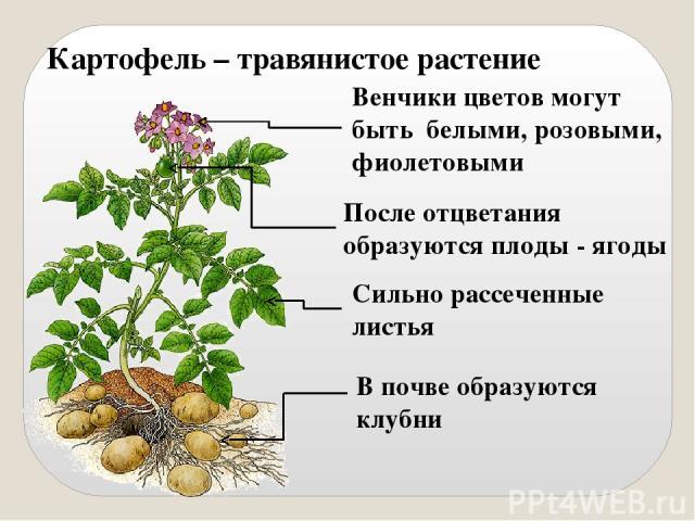 Картофель – травянистое растение Сильно рассеченные листья В почве образуются клубни Венчики цветов могут быть белыми, розовыми, фиолетовыми После отцветания образуются плоды - ягоды