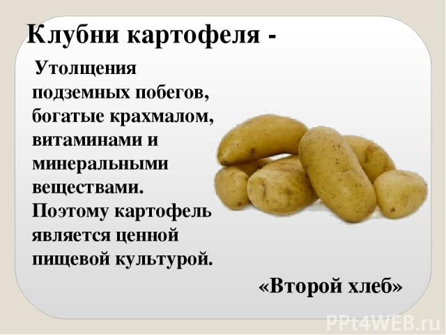 Клубни картофеля - Утолщения подземных побегов, богатые крахмалом, витаминами и минеральными веществами. Поэтому картофель является ценной пищевой культурой. «Второй хлеб»