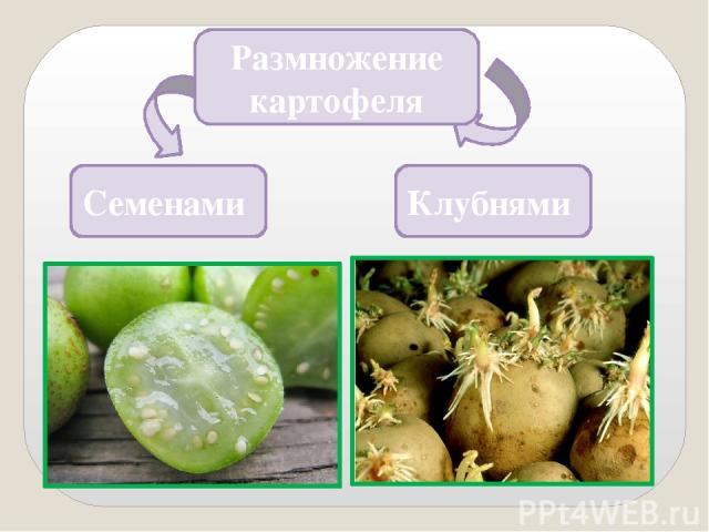 8. Назовите родину картофеля. Родина картофеля Южная Америка Подсказка