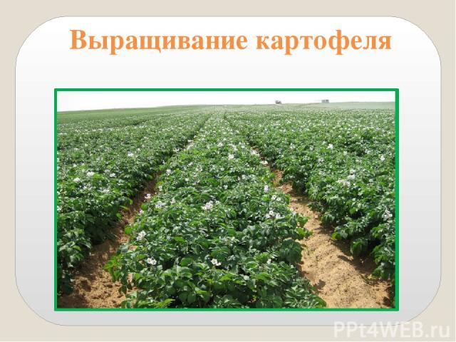 9. Расскажите о выращивании картофеля. Картофель сажают весной. Клубни закапывают на глубину 10 см. Расстояние между клубнями 40 см. После всходов почву вокруг кустов надо рыхлить и производить окучивание.