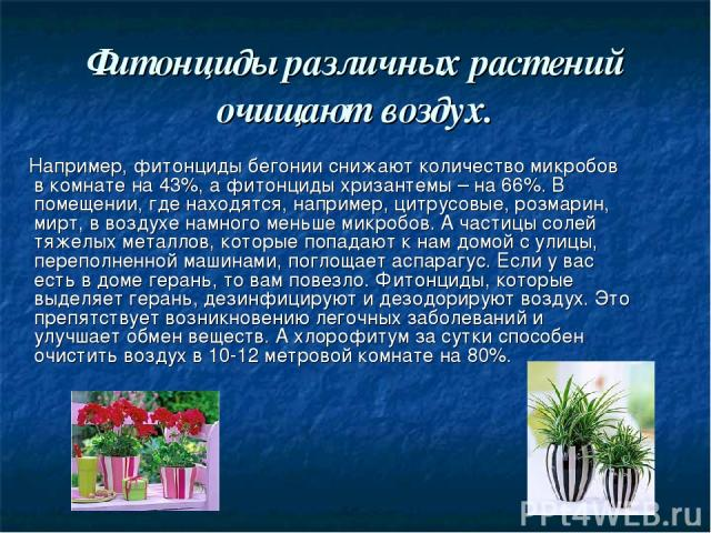 Фитонциды различных растений очищают воздух. Например, фитонциды бегонии снижают количество микробов в комнате на 43%, а фитонциды хризантемы – на 66%. В помещении, где находятся, например, цитрусовые, розмарин, мирт, в воздухе намного меньше микроб…