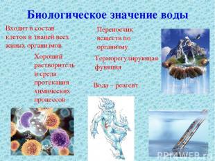 Биологическое значение воды Входит в состав клеток и тканей всех живых организмо