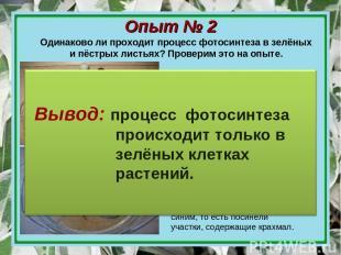 Опыт № 2 Одинаково ли проходит процесс фотосинтеза в зелёных и пёстрых листьях?