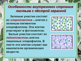 Особенности внутреннего строения листьев с пёстрой окраской Зеленые участки сост