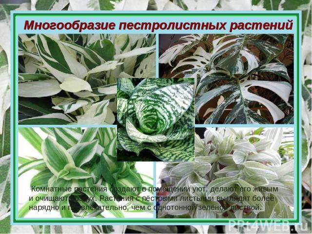 Многообразие пестролистных растений Комнатные растения создают в помещении уют, делают его живым и очищают воздух. Растения с пёстрыми листьями выглядят более нарядно и привлекательно, чем с однотонной зелёной листвой.