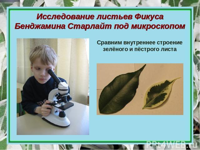Исследование листьев Фикуса Бенджамина Старлайт под микроскопом Сравним внутреннее строение зелёного и пёстрого листа