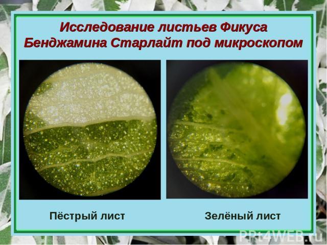 Исследование листьев Фикуса Бенджамина Старлайт под микроскопом Пёстрый лист Зелёный лист
