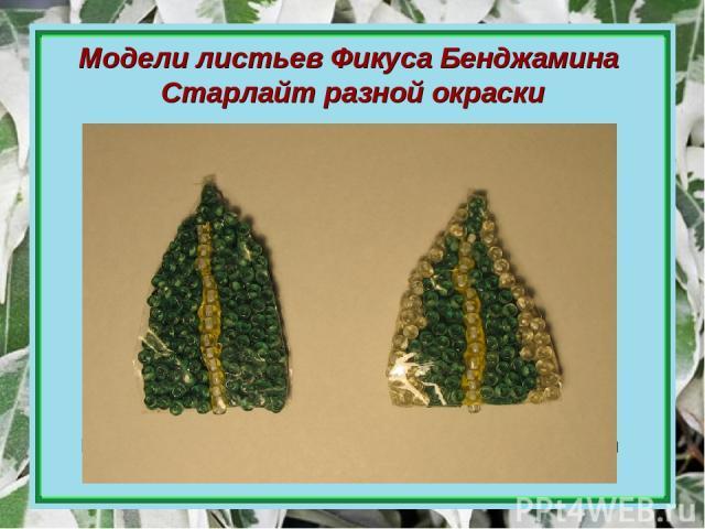 Модели листьев Фикуса Бенджамина Старлайт разной окраски Модель листа пёстрой окраски Модель листа зелёной окраски Процесс изготовления моделей внутреннего строения зелёного и пёстрого листа