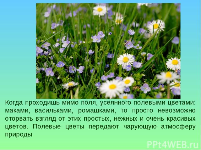 Когда проходишь мимо поля, усеянного полевыми цветами: маками, васильками, ромашками, то просто невозможно оторвать взгляд от этих простых, нежных и очень красивых цветов. Полевые цветы передают чарующую атмосферу природы