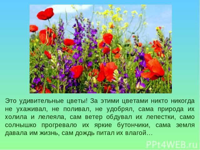 Это удивительные цветы! За этими цветами никто никогда не ухаживал, не поливал, не удобрял, сама природа их холила и лелеяла, сам ветер обдувал их лепестки, само солнышко прогревало их яркие бутончики, сама земля давала им жизнь, сам дождь питал их …