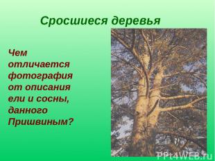 Сросшиеся деревья Чем отличается фотография от описания ели и сосны, данного При