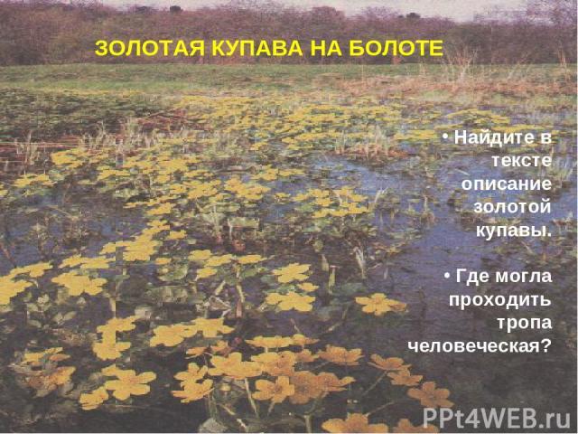 ЗОЛОТАЯ КУПАВА НА БОЛОТЕ Найдите в тексте описание золотой купавы. Где могла проходить тропа человеческая?
