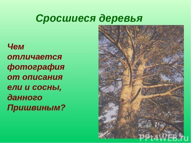 Сросшиеся деревья Чем отличается фотография от описания ели и сосны, данного Пришвиным?