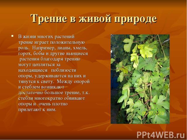 Трение в живой природе В жизни многих растений трение играет положительную роль. Например, лианы, хмель, горох, бобы и другие вьющиеся растения благодаря трению могут цепляться за находящиеся поблизости опоры, удерживаются на них и тянутся к св…