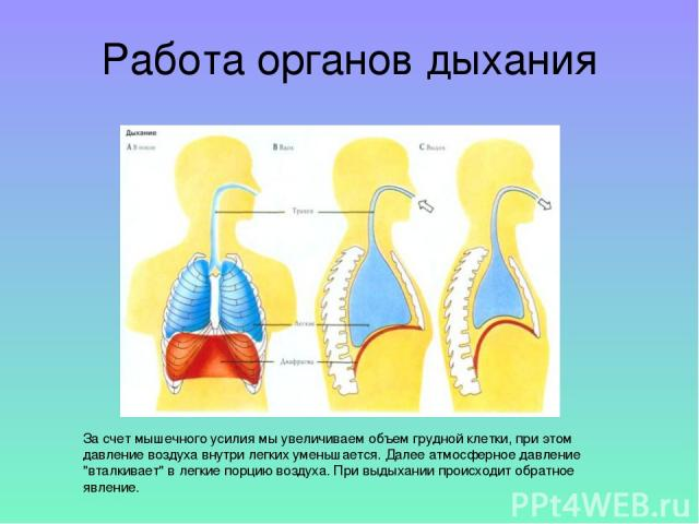 За счет мышечного усилия мы увеличиваем объем грудной клетки, при этом давление воздуха внутри легких уменьшается. Далее атмосферное давление