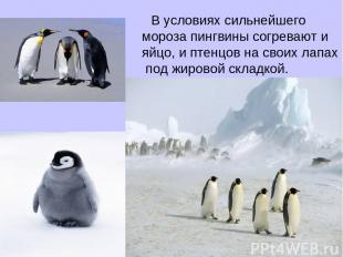 В условиях сильнейшего мороза пингвины согревают и яйцо, и птенцов на своих лапа