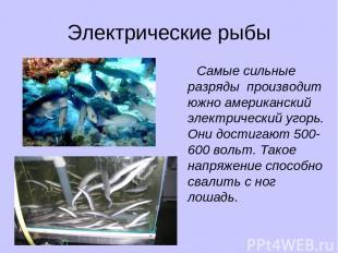 Электрические рыбы Самые сильные разряды производит южно американский электричес