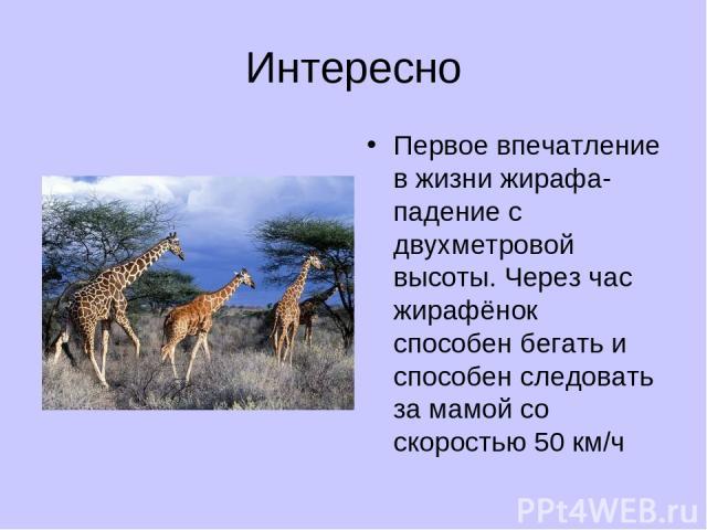 Интересно Первое впечатление в жизни жирафа- падение с двухметровой высоты. Через час жирафёнок способен бегать и способен следовать за мамой со скоростью 50 км/ч