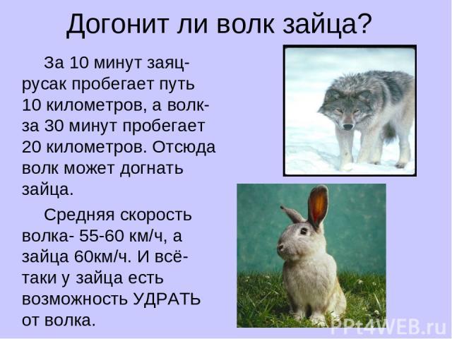 Догонит ли волк зайца? За 10 минут заяц-русак пробегает путь 10 километров, а волк- за 30 минут пробегает 20 километров. Отсюда волк может догнать зайца. Средняя скорость волка- 55-60 км/ч, а зайца 60км/ч. И всё-таки у зайца есть возможность УДРАТЬ …