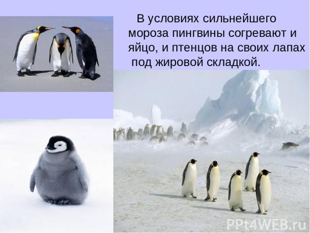 В условиях сильнейшего мороза пингвины согревают и яйцо, и птенцов на своих лапах под жировой складкой.